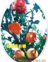 供应水晶红甜价格实惠的牡丹花石榴苗
