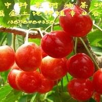 盆栽果树苗/庭院果树/南方紫珍珠樱桃苗/当年结果/樱桃树苗