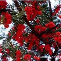 供应种子/红豆杉/红豆杉种子/南方红豆杉种子/种子批发