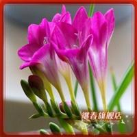 球根花卉香雪兰种球【杰尼】洋晚香玉、当年开花、品种纯