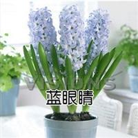 洋水仙种球花卉荷兰进口风信子种球球套装风信子批发和零售