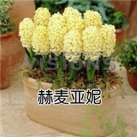 水培植物风信子种球洋水仙绿植盆栽花卉多个品种