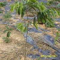 出售花卉苗木沉香树苗-沉香苗-白木香-沉香树1米高