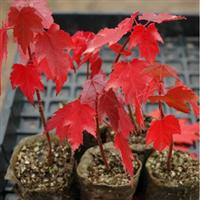 美国红枫种子红花槭加拿大红枫红糖槭猩红枫0.5/颗10棵起