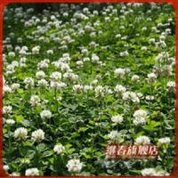美国进口草种观赏草坪,白三叶种子(胡依阿),耐寒,低矮42一斤