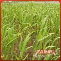低价出售粽子的外衣【芦苇】苗子喜迎端午节