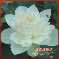 水生植物碗莲种根【红颜滴翠】碗莲种藕盆栽碗莲