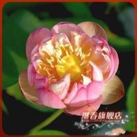 水生植物碗莲种根【粉霞】碗莲种藕盆栽碗莲