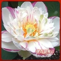 水生植物碗莲种根【小酒锦】碗莲种藕盆栽碗莲