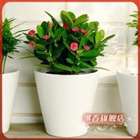 盆栽迷你小植物【虎刺梅】刺的锐利.梅的风韵