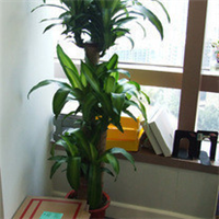 大盆植物/大盆栽/室内植物/除甲醛净化空气/花木/巴西木、巴西铁