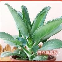 特价热卖夏季特别推出【落地生根】稀少的盆栽花卉成活率100%