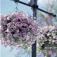 花卉种子新采牵牛花种子喇叭花种子爬藤牵牛花种子低价