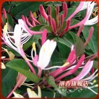 盆栽花卉绿植新品种金银花【金丰一号】变色花,品种珍贵