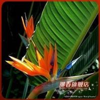 特价秒杀盆栽花卉【鹤望兰】可水培花语:自由.幸福.潇洒