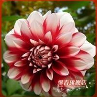 特价热卖花型多变【大丽菊】大丽花.花期颇长.绚丽多姿