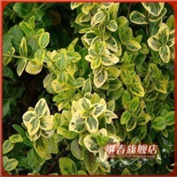庭院阳台绿化植物【金边扶芳藤】叶边有光泽.金黄色边