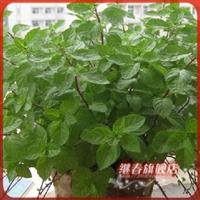 小型盆栽【苏格兰薄荷】情人礼物,净化空气,提神醒脑