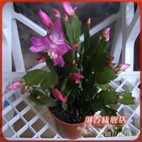 办公室植物蟹爪兰,此植物有防止电脑辐射的功效,玻璃陶粒种植