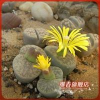 特价抢购多肉植物【生石花】石头花约0.5-0.8cm请注意规格现货