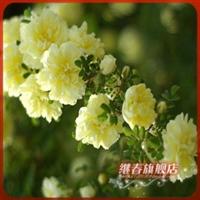 浓香花卉树苗【木香蔷薇】爬藤速度快,花香特浓.便宜卖