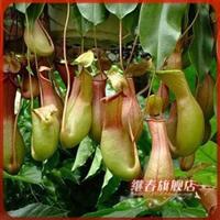 特价出售食虫植物【猪笼草】净化空气花卉,家居必备盆栽