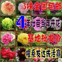 限时秒杀精品蓝牡丹苗【冷香】盆栽花卉蓝色牡丹花4年苗
