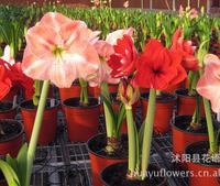 批发供应进口荷兰朱顶红种球朱顶红花卉不仿真