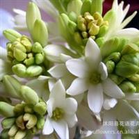 晚香玉种球花香如白兰浓香花期长可驱蚊四季可种