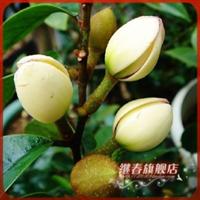 浓香花卉五年大苗【若然含笑】散发苹果味的含笑香气很浓
