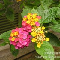 供应五色梅绿化苗木花卉