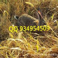 安徽肉兔野兔长毛兔獭兔新西兰兔养殖场