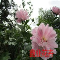 木槿篱笆专用木槿树苗重瓣大花木槿量大从优