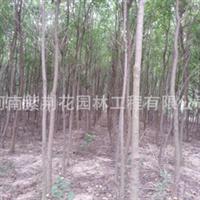 河南乌桕树、米径3-6公分园林绿化苗木批发、10棵起批