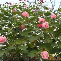 紫枫花木供应木芙蓉等花卉