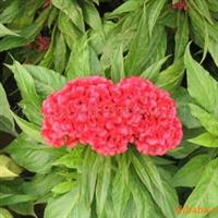 供应节日用花,鸡冠花,孔雀草,彩叶草等苗木花卉
