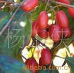 供应山萸肉提取物/AsiaticCornelianCherryFruit