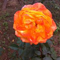 大量供应多种颜色月季花苗
