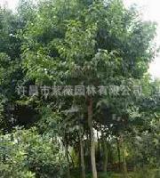 供应绿化乔木杜仲树10-12cm规格齐全