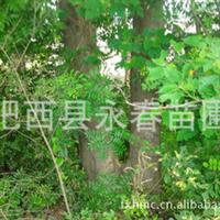 销售野生连体皂角树一棵,胸径50公分,乡土树种棠梨、黄连木