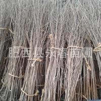 【百日红】供应优质标准化红花紫薇紫薇小苗批发紫薇价格