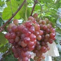 优质红宝石葡萄苗脱毒苗木场家直销果树苗