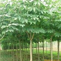 供应七叶树苗|优质七叶树苗|桫椤树苗|桫椤树价格