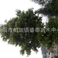 盛泰苗木中心金丝楠木常年供应优质金丝楠木苗木供应绿化苗木