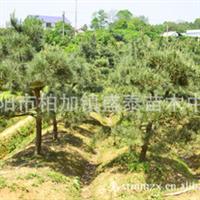 黑松盛泰苗木中心常年供应优质苗木诚信经营供应绿化苗木