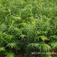 现有100万当年生的红豆杉小苗急需出售红豆杉红豆杉苗