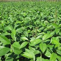供应绿化苗木乔木类杜仲楝树皮棉皮棉树皮