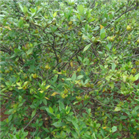 重庆供应灌木黄栀子苗中药材大叶栀子栀子苗栀子