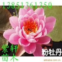 供应水生花卉睡莲(红,黄,白,粉)色可盆栽(图)