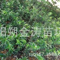 自育红豆杉营养袋苗_南方红豆杉_苗高12-20cm,欢迎订购红豆杉苗